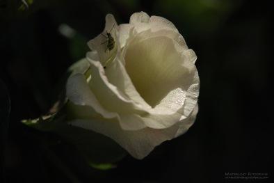 Baumwollblüte