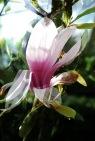 Magnolie01