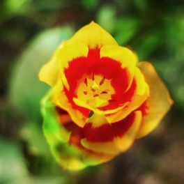 Tulpen03