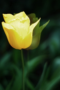 Tulpen04