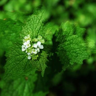 Wildblume01